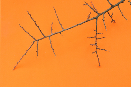The ugly branch of thorns on orange background