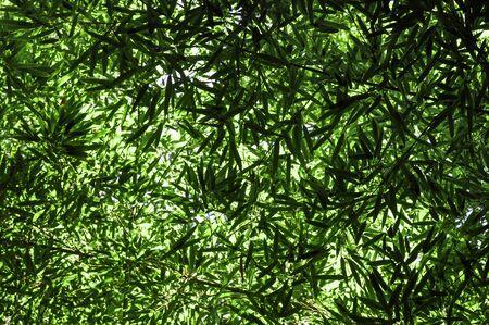 Strukturierter Hintergrund aus grünen Blättern auf Bambuszweigen bei Betrachtung von unten nach oben an einem Sommertag Standard-Bild