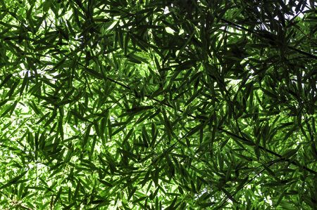 Textured background of green leaves on bamboo branches when viewed from the bottom up on a summer Sunny day Standard-Bild