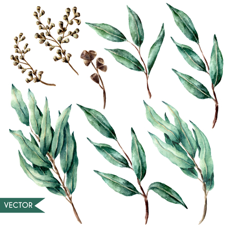 Vector hand drawn watercolor eucalyptus leaves and berries set isolated on white. Vektorové ilustrace