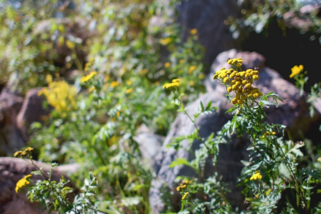 Tansy plant with yellow flowers in the field