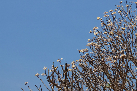 Blooming frangipani tree branches above blue sky Stock Photo