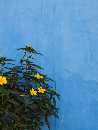 contrast floral: Green bush with yellow flowers at blue wall Stock Photo
