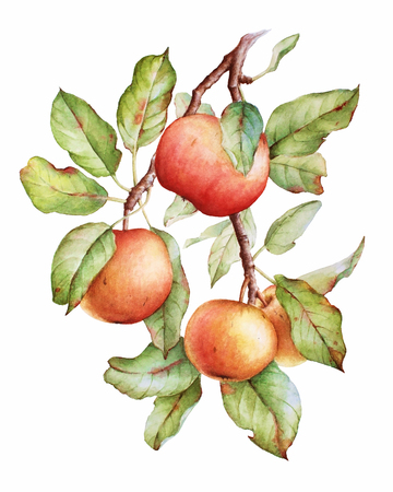 Watercolor image of an apple tree branch with green leaves and apples Archivio Fotografico