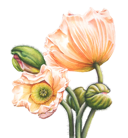 Watercolor illustration of orange poppies and buds on white background