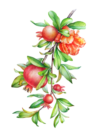 Watercolor hand drawn illustration of the pomegranate tree branch with fruit and green leaves isolated on white background