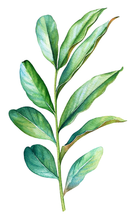 Watercolor illustration of a green plant branch. Stok Fotoğraf