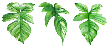 Watercolor illustration of philodendron leaves. Realistic drawing of tropical plants