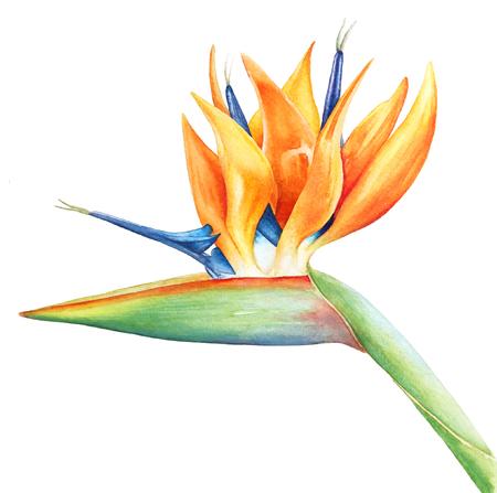 Tropical flower strelitzia, paradisel bird with the stem.