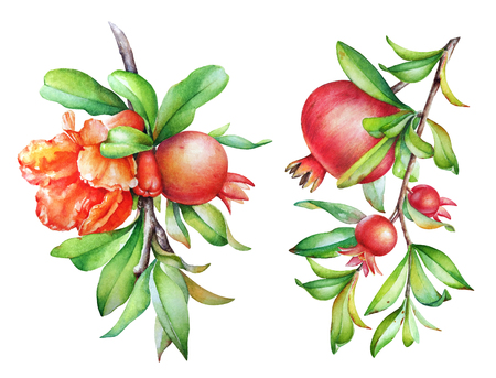 Pomegranate tree branches with fruits