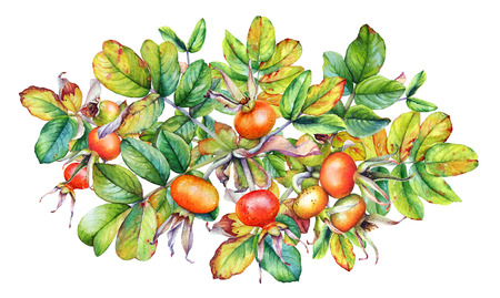 Watercolor Rose Hip branches