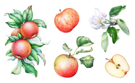 Watercolor apple tree branches with fruits, flowers and leaves.