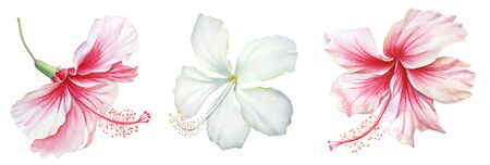Collection of watercolor white and pink hibiscus flowers on white background. Imagens