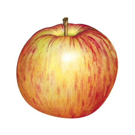 Watercolor realistic yellow apple with red stripes isolated on white background