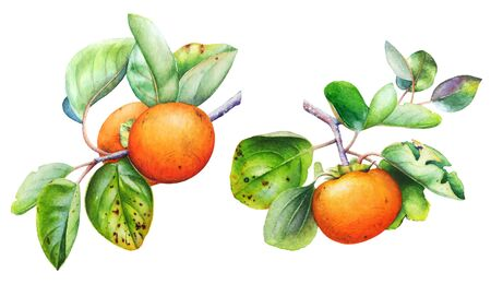 Watercolor botanical illustration of the persimmon tree branch with fruits and leaves isolated on white background