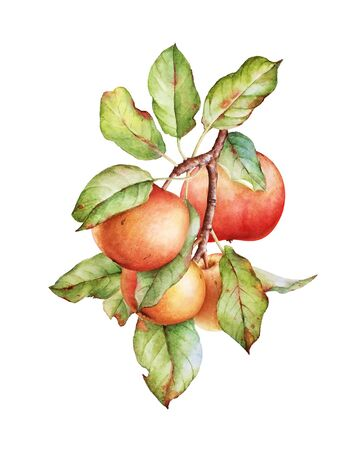 Watercolor illustration of an apple tree branch Imagens