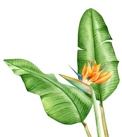 Watercolor realistic drawing of a tropical flower strelitzia with leaves