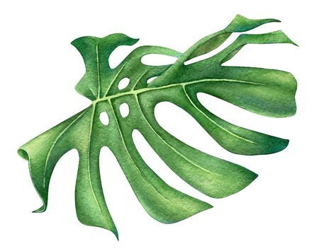 Watercolor illustration of a monstera leaf isolated on white background
