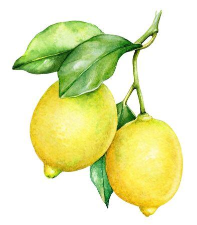 Watercolor botanical illlustration of a lemon tree branch on white background Standard-Bild