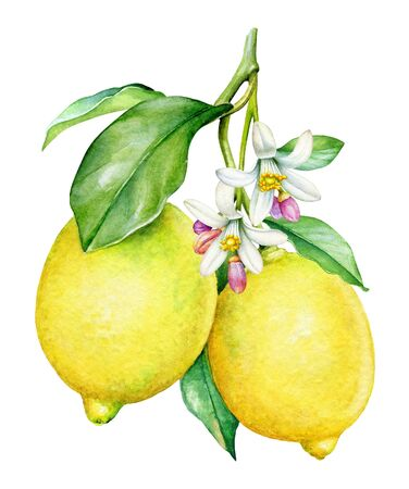 Watercolor botanical illlustration of lemon tree branch with fruits and flowers on white background