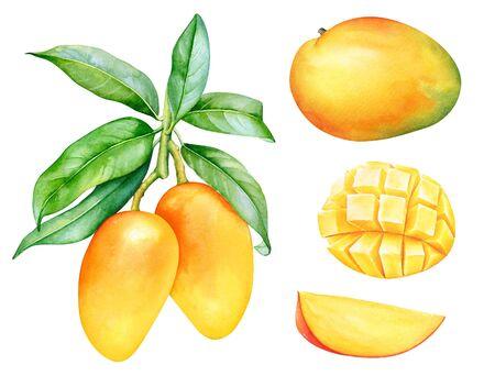 Watercolor mango fruits isolated on white background