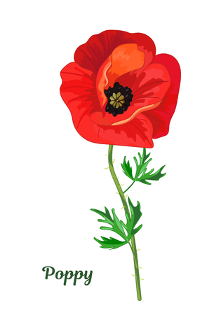 Red poppy with leaves 矢量图像