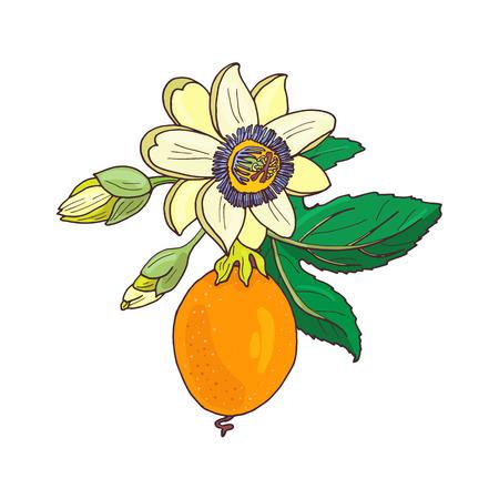 Passiflore de passiflore, fruit de la passion sur fond blanc. Fleur exotique isolée, bourgeon et feuille. Illustration vectorielle d'été pour textile imprimé, tissu, papier d'emballage.