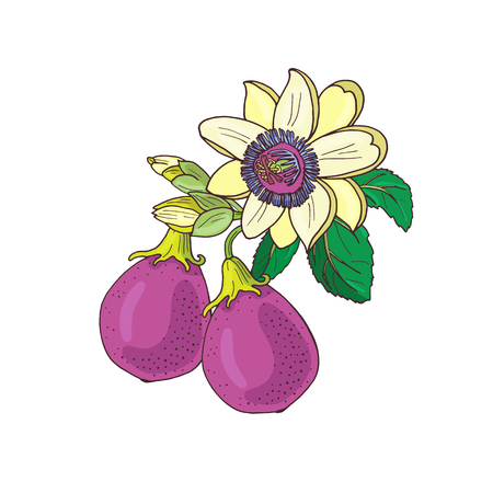 Passiflore de passiflore, violet de la passion, fruit violet sur fond blanc. Fleur exotique isolée, bourgeon et feuille. Illustration vectorielle d'été pour textile d'impression, tissu, papier d'emballage.