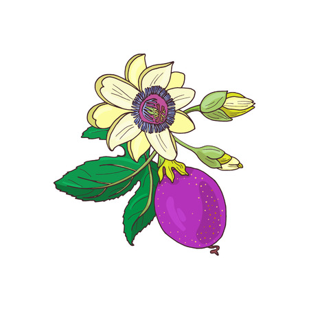 Passionflower passiflora,passion purple,violet fruit on a white background.Isolated exotic flower,bud and leaf.Summer vector illustration for print textile,fabric,wrapping paper.
