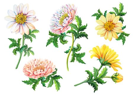 Set of watercolor chrysanthemums on a white background.Summer,autumn floral illustration of yellow