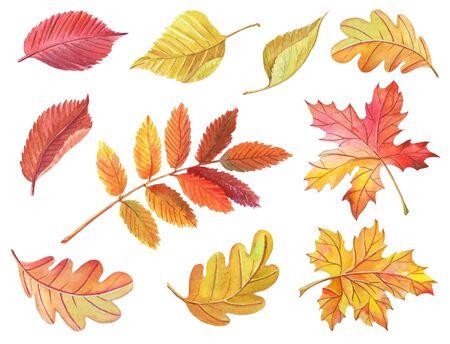 Acuarela hojas de arce, abedul, roble, Rowan sobre fondo blanco. Clipart brillante