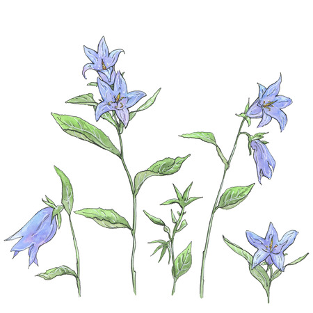 campanula: hand drawn set of watercolor flowers Campanula bellflower on white background Stock Photo