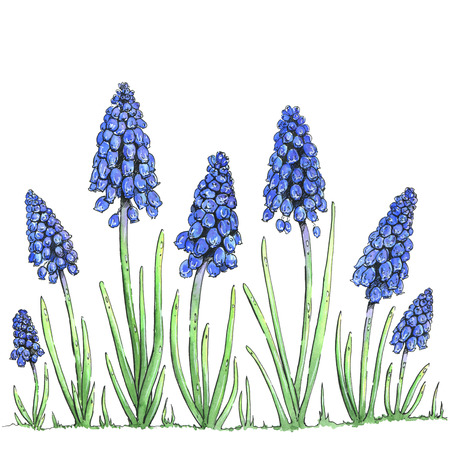 leaf illustration: hand drawn watercolor flowers Muscari on white background