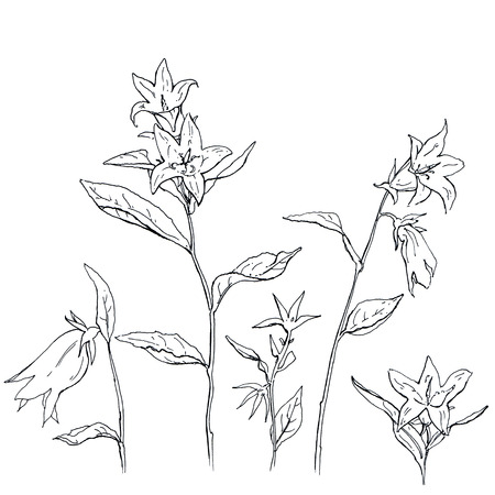 campanula: hand drawn set of graphic flowers Campanula bellflower on white background
