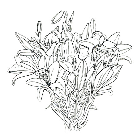 lilium: hand drawn graphic flower Lilium Lily Lilies on white background