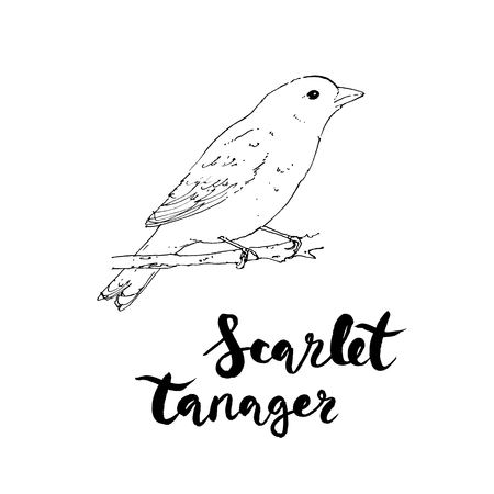 hand drawn watercolor isolated bird Scarlet Tanager with handwritten words lettering on white background