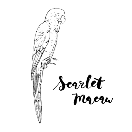 hand drawn graphic isolated bird Scarlet Macaw with handwritten words lettering on white background