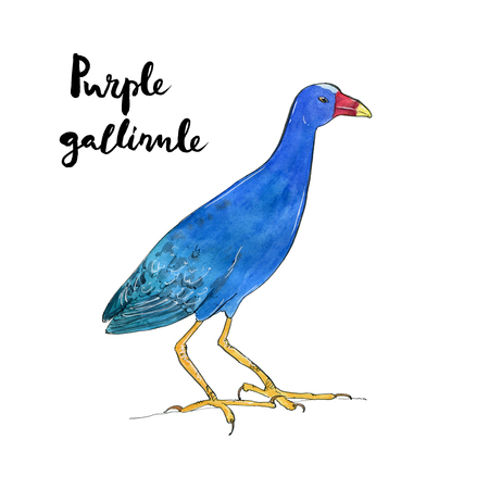 hand drawn set of watercolor isolated bird purple gallinule with handwritten words lettering on white background Stock Photo