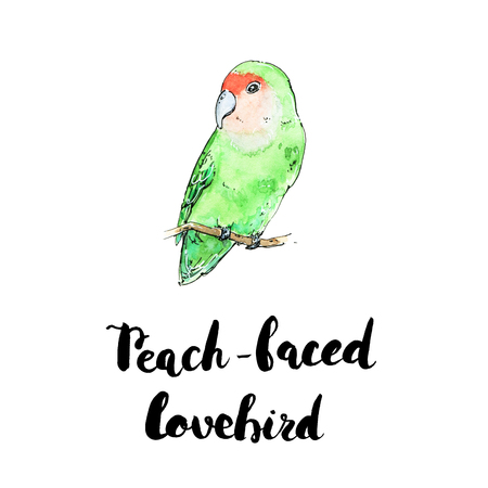 hand drawn watercolor isolated bird Peach-Faced Lovebird with handwritten words lettering on white background
