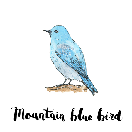 hand drawn watercolor isolated bird Mountain Bluebird with handwritten words lettering on white background Stock Photo