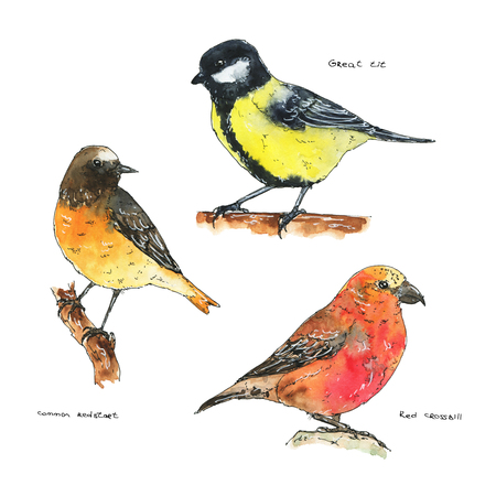 hand drawn set of watercolor isolated birds common redstart red crossbill great tit on white background