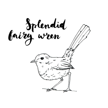 hand drawn set of graphic isolated bird Splendid Fairy Wren on white background with handwritten words