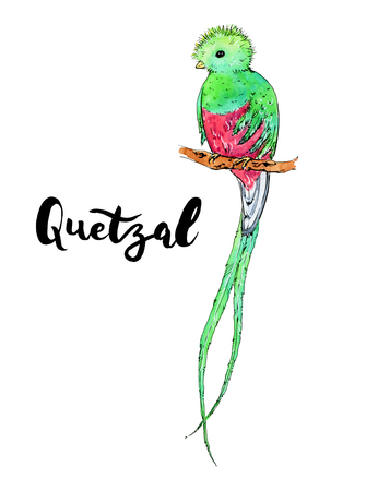 hand drawn watercolor isolated bird Quetzal with handwritten words lettering on white background