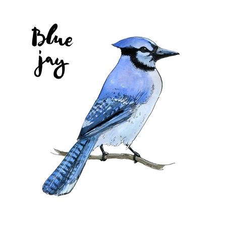 hand drawn watercolor isolated bird blue jay on white background