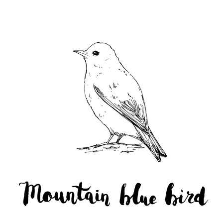 hand drawn graphic isolated bird Mountain Bluebird with handwritten words lettering on white background Stock Photo