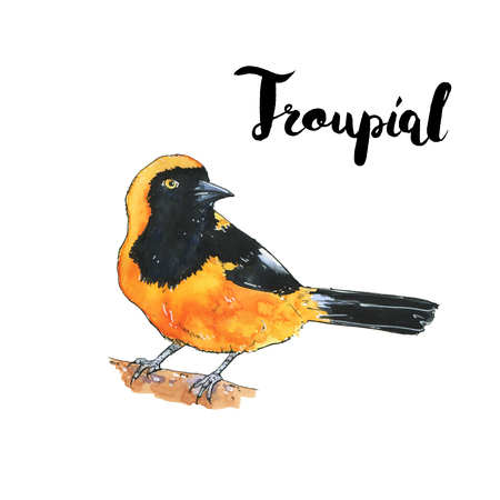 hand drawn watercolor isolated bird Troupial with handwritten words lettering on white background