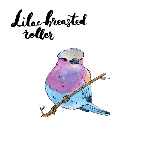 hand drawn set of watercolor isolated bird Lilac-breasted Roller with handwritten words lettering on white background