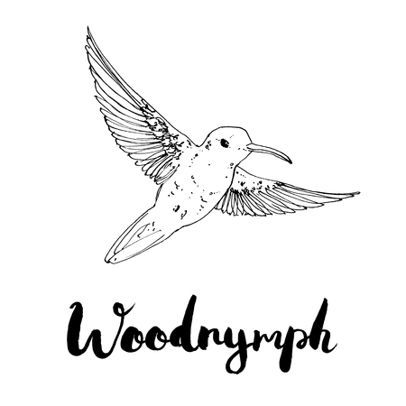 hand drawn watercolor isolated bird Woodnymph with handwritten words lettering on white background