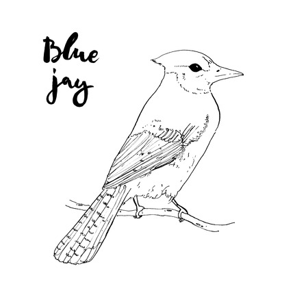hand drawn watercolor isolated bird Blue jay with handwritten words lettering on white background Standard-Bild