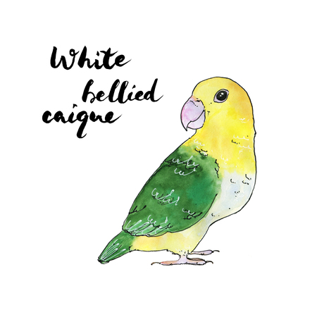 hand drawn set of watercolor isolated bird White Bellied Caique on white background with handwritten words